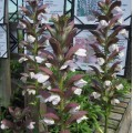 Acanthus  'Mornings Candle'