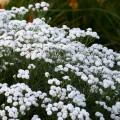 Achillea ptarmica 'Peter Cottontail'