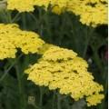 Achillea millefolium 'Sassy Summer Lemon'
