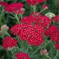 Achillea millefolium 'Sassy Summer Sangria'
