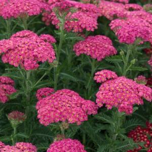 Achillea millefolium 'Sassy Summer Taffy'