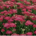 Achillea millefolium 'New Vintage Red'