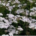 Achillea millefolium 'New Vintage White'