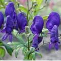Aconitum henryi 'Sparks Variety'