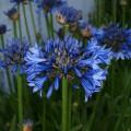 Agapanthus  'Blue Magic'