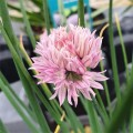 Allium schoenoprasum 'Curly Mauve'