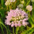 Allium  'Sugar Melt'