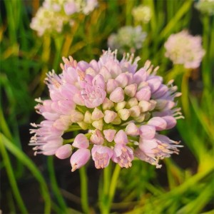 Allium  'Sugar Melt'