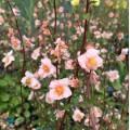 Alonsoa meridionalis 'Shell Pink'