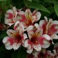 Alstroemeria Inca 'Sweety'