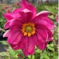 Anemone  'Curtain Call Deep Rose'