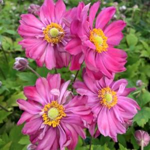 Anemone x hybrida 'Fall In Love Sweetly'