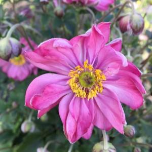 Anemone x hybrida 'Fantasy Belle'