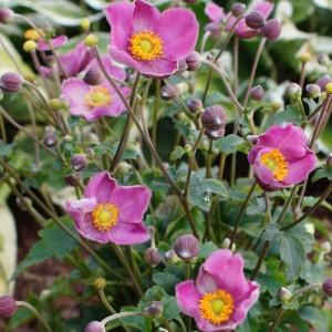 Anemone x hybrida 'Fantasy Jasmine'