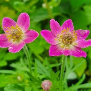 Anemone lesseri