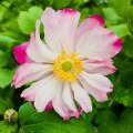 Anemone hupensis 'Pretty Lady Julia'