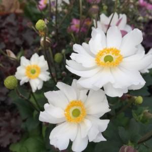 Anemone  'Snow Angel'