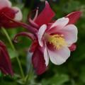 Aquilegia  'Earlybird Red White'