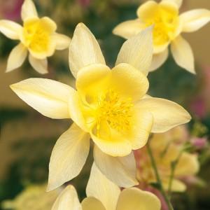 Aquilegia  'Swan Yellow'