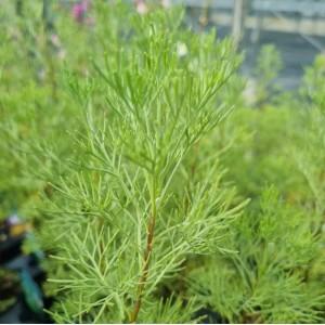 Artemisia abrotanum 'Coca Cola'