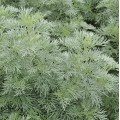 Artemisia aborescens 'Powis Castle'