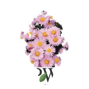 Aster  'Autumn Jewels Rose Quartz'