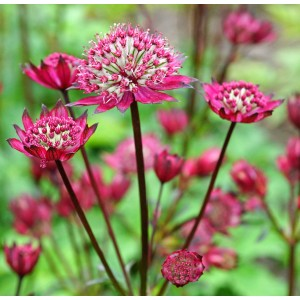 Astrantia  'Burgundy Manor'