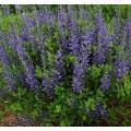 Baptisia australis 'Decadence Blueberry Sundae'