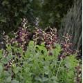 Baptisia australis 'Decadence Dutch Chocolate'