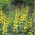 Baptisia australis 'Decadence Lemon Meringue'