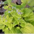 Brunnera macrophylla 'Emerald Mist'