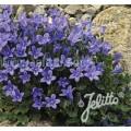 Campanula portenschlagiana 'Blue Magic'