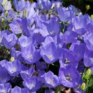 Campanula carpatica 'Rapido Blue'