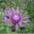 Centaurea  'Cara Mia'