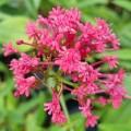 Centranthus rubra 'Coccineus'