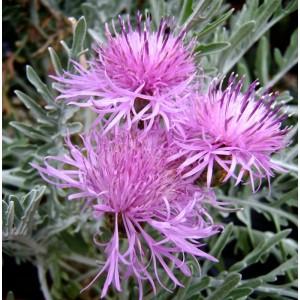 Centaurea  'Silver Feather'