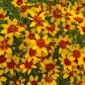 Coreopsis  'Sizzle & Spice Curry Up'