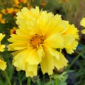 Coreopsis auriculata 'Leading Lady Charlize'