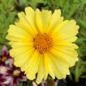 Coreopsis auriculata 'Limoncello'