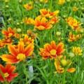 Coreopsis  'Little Bang Orange Elf'