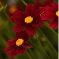 Coreopsis  'Little Bang Red Elf'
