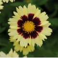 Coreopsis  'Uptick Cream Red'