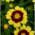 Coreopsis  'Uptick Yellow Red'
