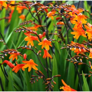 Crocosmia  'Mini Star'