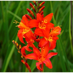 Crocosmia  'Prince of Orange'