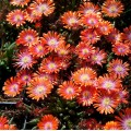 Delosperma  'Jewel of Desert Sunstone'