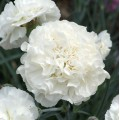 Dianthus  'Bridal Star'