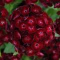 Dianthus barbatus 'Dash Crimson'