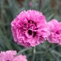 Dianthus  'Pink Ruffles'