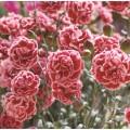 Dianthus  'Scent First Sugar Plum'